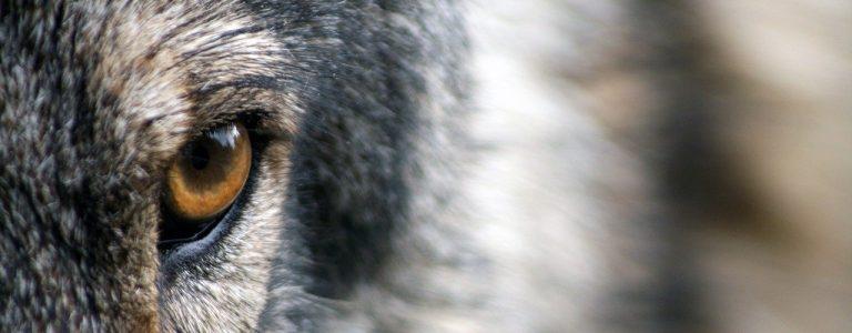 Bild: Wolfsauge